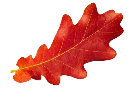14123870 - red autumn leaf oak isolated on white background